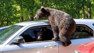 Trois oursons s'installent au volant d'une voiture