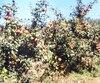 La traditionnelle cueillette de pommes au seul verger de Saguenay se déroulera le 23 septembre prochain de 12 h à 17 h à la Bergerie de la vieille ferme de Saint-Fulgence.