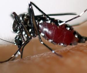 Les moustiques sont à l'origine de la propagation de la maladie.