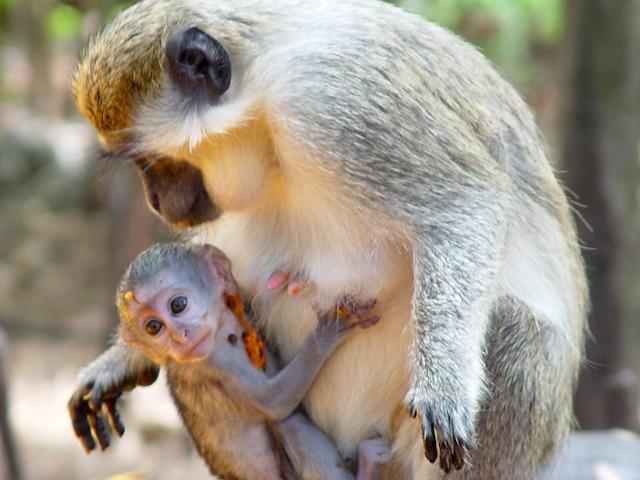 La Wildlife Reserve est habitée de nombreux primates.