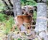 De nombreux jeunes cerfs en pleine santé comme celui-ci ont été vus dans l'île depuis quelques semaines par les nombreux chasseurs qui fréquentent le territoire de Sépaq Anticosti présentement. C'est la preuve que le troupeau est en bonne forme.
