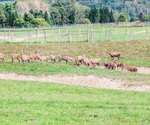 Une partie du troupeau de cerfs rouges à Grenville-sur-la-Rouge où la maladie débilitante du cervidé a frappé un jeune mâle.