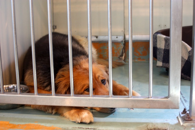 Pico, 6 ans, attend une famille à la SPCA depuis le 21 juin. C'est un golden Retriever croisé berger allemand.