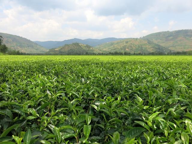 Une toute petite portion de la plantation de thé de Sorwathe, à Kinihira.