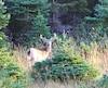 Les beaux mâles adultes sont de retour sur le territoire de Sépaq Anticosti.