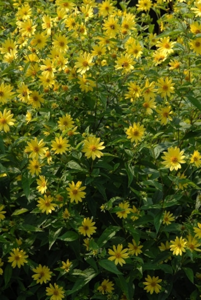 Tournesol vivace 'Lemon Queen' (Helianthus 'Lemon Queen')