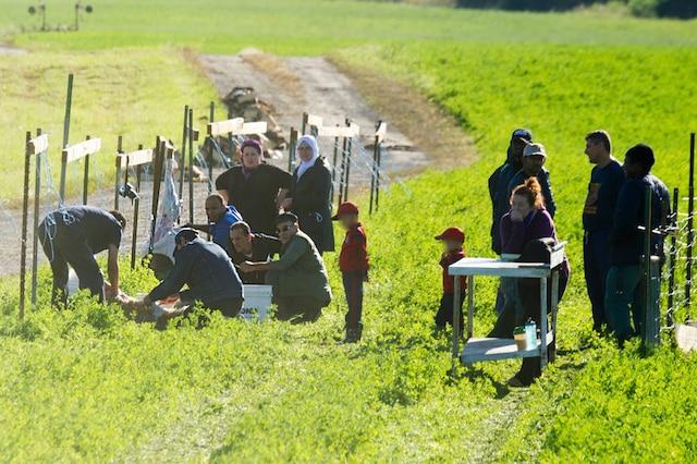 Une famille égorge son agneau dans le champ de l'éleveur Denis Lemire, à Mascouche, chez qui elle vient de l'acheter 400$.