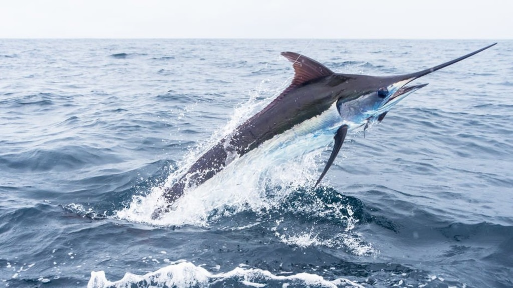 Un marlin atterrit dans leur pneumatique, deux Australiens grièvement blessés