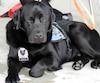 Kanak est la nouvelle recrue du Service de police de Sherbrooke. Le Labrador de 19 mois sera utilisé pour aider les enfants victimes d'actes criminels.