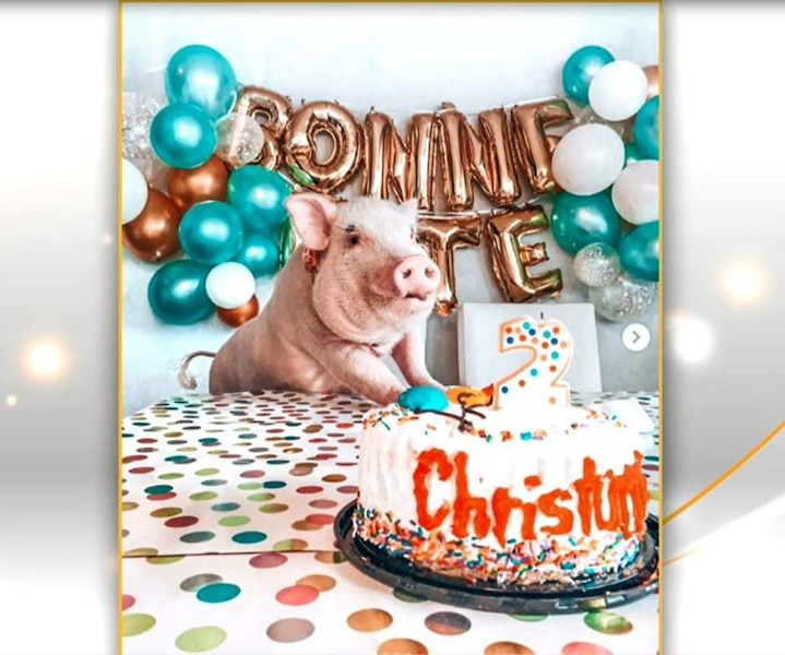 Christopher le cochon, star du web