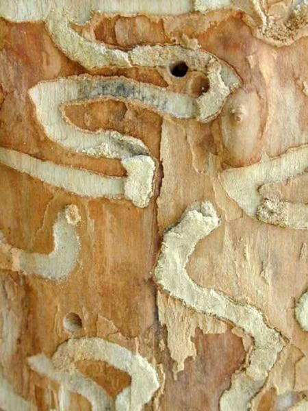 Galeries creusées sous l'écorce par la larve de l'agrile du frêne