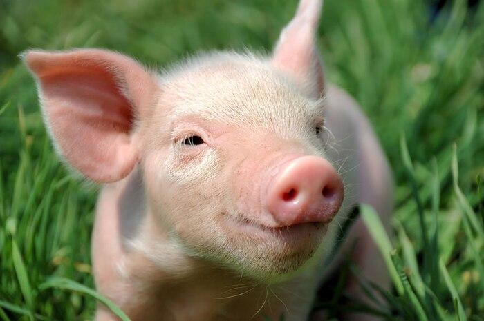 Pur cochon