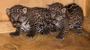 Zoo de Granby: deux nouveaux petits pensionnaire