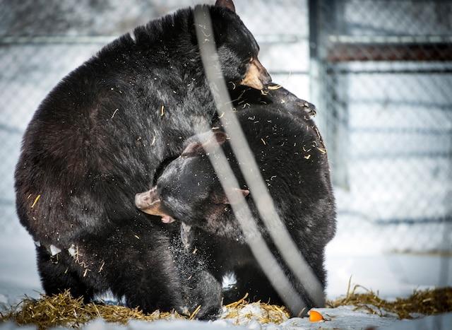 Juno et Genie des ourses noires lors de la visite du Zoo Ecomuseum au réveil officiel de ses deux ourses noires, après une période d'hivernation plus courte qu'à l'accoutumée le mardi 1er mars 2016. MARTIN CHEVALIER / LE JOURNAL DE MONTRÉAL