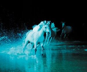 Les chevaux de Cavalia sont prêts pour leur spectacle Odysseo.