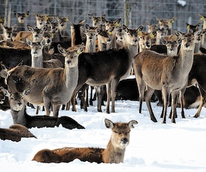 Quelques-unes des 600 bêtes de l'élevage de Gaëtan Lehoux qui est péril en raison de la maladie du cerf fou.