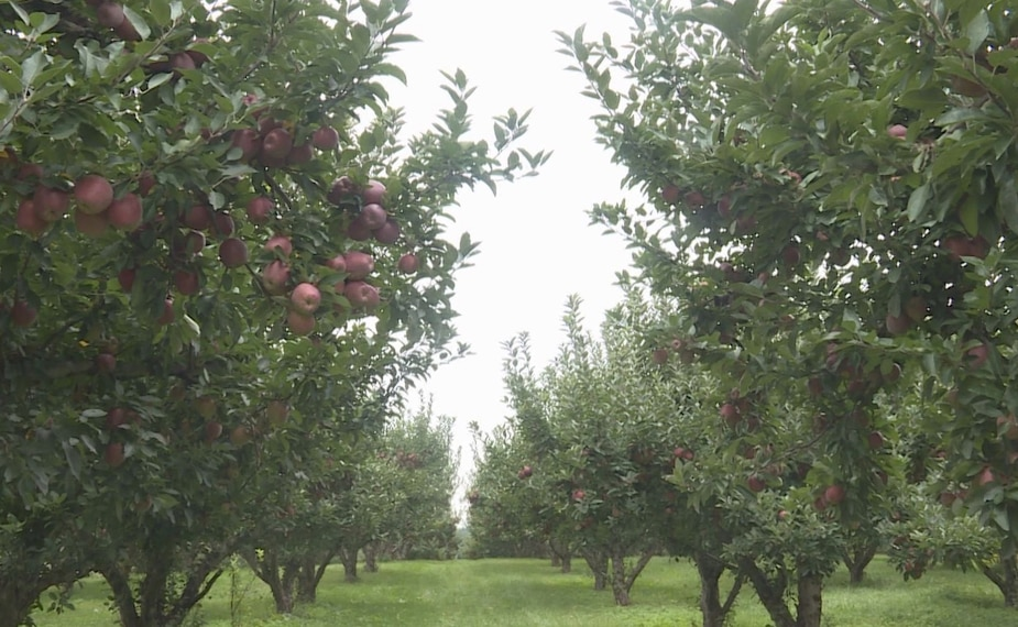 Image principale de l'article Un bandit réussit à voler 50 000 pommes