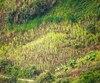 Un champ de coca colombien.