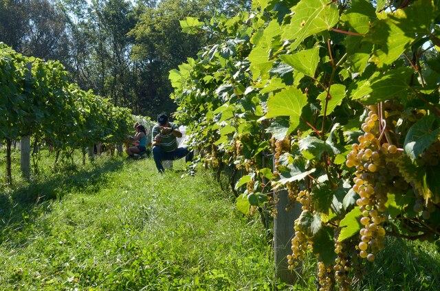 Près de 200 bénévoles participeront aux vendanges du vignoble Mas des Patriotes à Saint-Jean-sur-Richelieu. Les propriétaires prévoient récolter près de deux tonnes de raisins de plus que l'an dernier grâce à la météo extraordinaire de la fin de l'été.