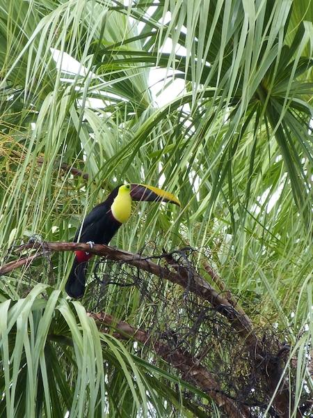 Un toucan observ dans un arbre du jardin sur le littoral sud du Golfo Dulce, au Costa Rica. Novembre 2014. FRDRIQUE SAUVE/AGENCE QMI