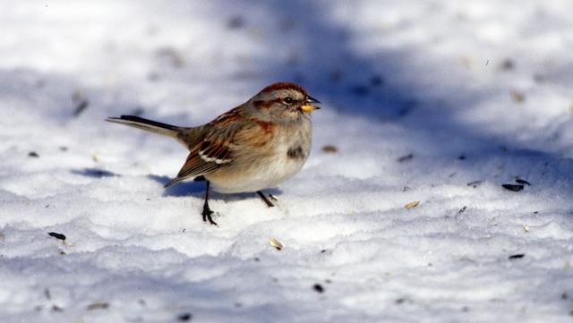 Tournesol sur neige
