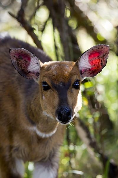 Plusieurs espèces d'antilopes se trouvent dans le parc national Royal Natal, dont le guib harnaché.