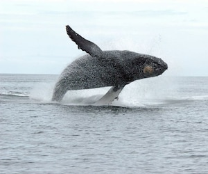 First fine levied in Canada for approaching whale