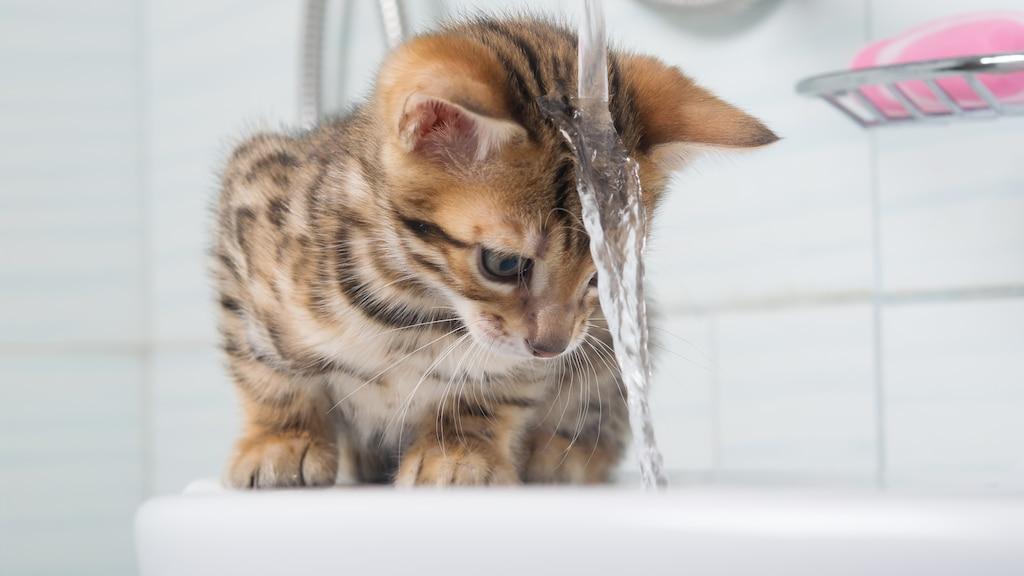 Des conseils pour laver son chat... si nécessaire!