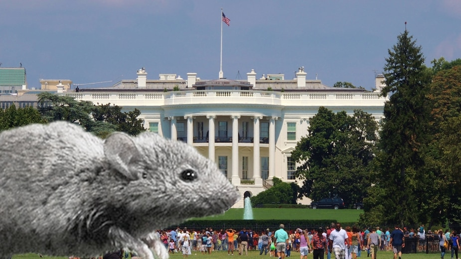 Image principale de l'article Une souris s'invite à la Maison-Blanche