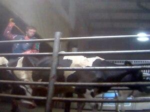 Un travailleur frappe une vache à coups de canne. Tous les travailleurs sont équipés du même instrument pour forcer les bêtes à se déplacer.