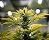 Florida voters set to legalize medical marijuana: survey