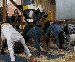 Le «Goat yoga» attire déjà beaucoup de participants au C2 Montréal 2019.