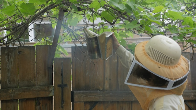 Alexandre Beaudoin de Miel Montréal enveloppe les abeilles restantes de fumé pour les calmer avant de les diriger dans la nouvelle ruche.