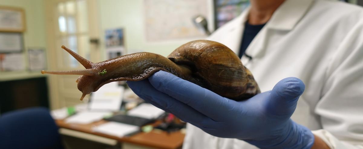 Invasion d'escargots g...