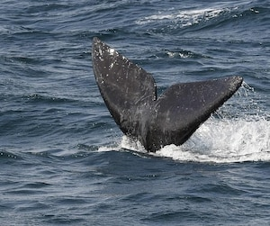 baleines noires la limite de vitesse lev e dans le golfe du saint laurent jdm. Black Bedroom Furniture Sets. Home Design Ideas