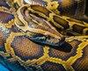 Le python a surgi des toilettes avant de mordre Atthaporn Boonmakchuay.
