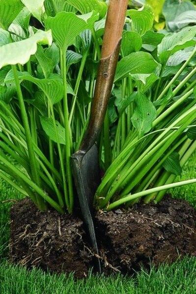 Chaque morceau doit posséder au moins deux tiges ou deux faisceaux de feuilles. N'hésitez pas à éliminer le centre du plant s'il est vieux et dégarni. Replantez finalement les rejetons sans tarder en leur fournissant compost et os moulus et arrosez-les abondamment.