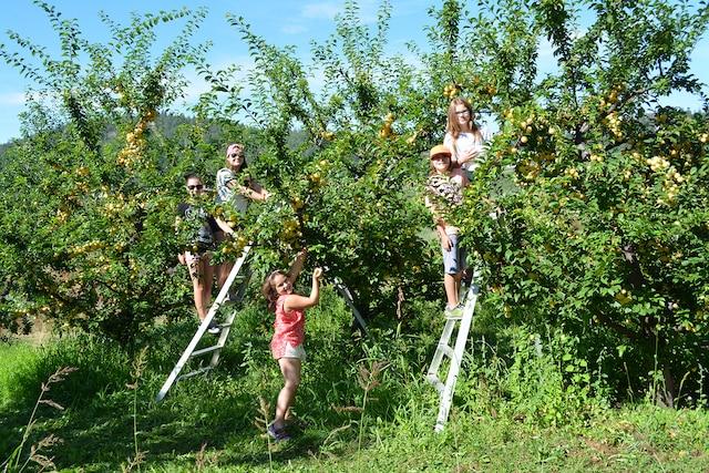 La vallée de l'Okanagan regorge de  vergers où on peut y cueillir des fruits.