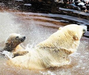 Âgé de cinq mois et demi, le petit ours blanc Kinuk a découvert son nouvel habitat du Zoo sauvage de Saint-Félicien au Saguenay–Lac-Saint-Jean. Il s'est présenté au public en compagnie de sa maman Aisaqvak.