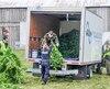 La SQ a récolté des centaines de plants qui poussaient dans les bois. L'an dernier, c'est plus de 300 000plantsqui ont été saisis.