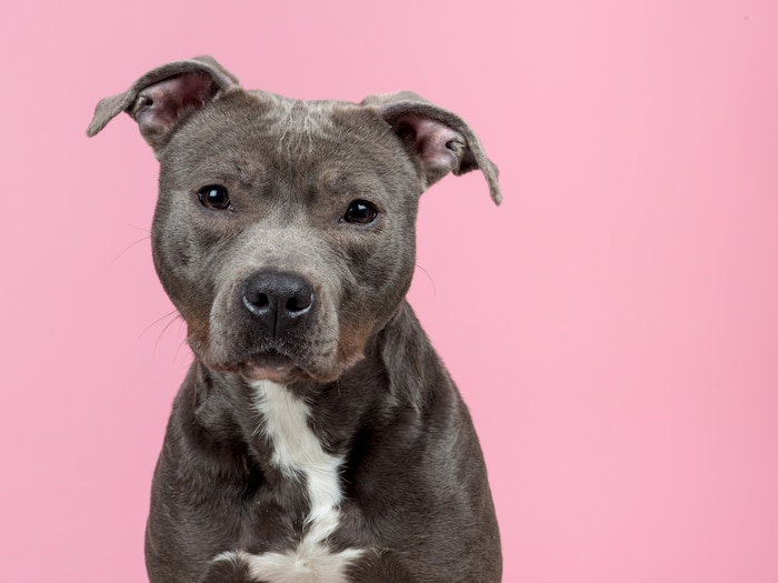Portrait of a sweet looking pitbull dog at a pink background