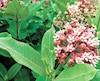 L'asclépiade, une plante essentielle au monarque, car c'est la nourriture exclusive des chenilles.