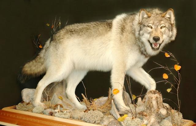<b>Loup gris</b><br /> «Frayeur»