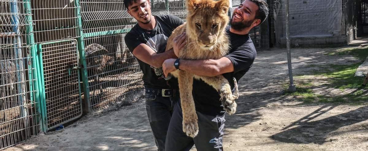 Un zoo palestinien dégriffe un lion pour que les visiteurs puissent jouer avec lui