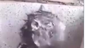 Un rat prend une douche comme un humain...