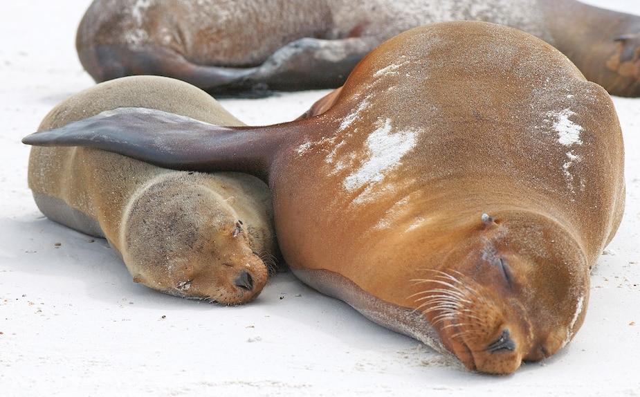 Le phoque de Weddell n'a que six semaines pour enseigner à sa progéniture comment survivre.