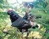 Lorsque vous trouvez une gélinotte ou un tétras, prenez bien le temps d'observer autour avant de faire feu. Il pourrait y avoir d'autres oiseaux perchés, comme ce fut le cas pour ce mâle tétras.