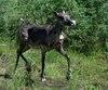 D'autres voix s'élèvent contre le déplacement de la harde de caribous de Val-d'Or au zoo de Saint-Félicien.