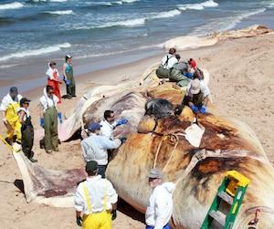 La nécropsie d'une baleine est une opération gigantesque qui nécessite la collaboration d'une vingtaine de scientifiques et de bénévoles. C'est une étape essentielle pour mettre le doigt sur la cause du décès.