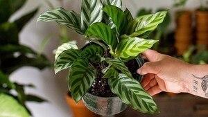Distribution de plantes gratuites au centre-ville